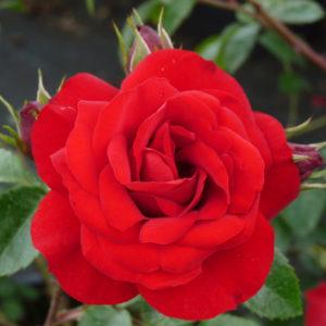 Rosa 'Sympathie' - Vrtnarstvo Breskvar
