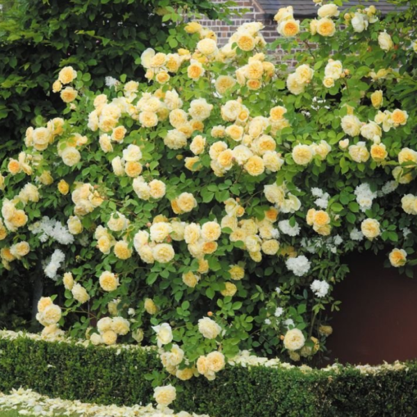 Rosa 'Teasing Georgia' - Vrtnarstvo Breskvar