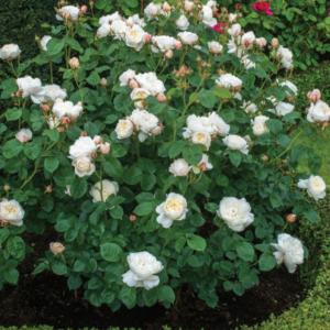 Rosa 'William and Catharine' - Vrtnarstvo Breskvar