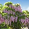 Wisteria floribunda 'Rosea' - Vrtnarstvo Breskvar
