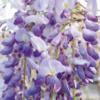 Wisteria brachybotrys 'Okayama' - Vrtnarstvo Breskvar