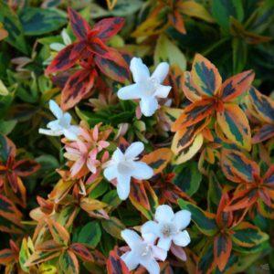 Abelija Kaleidoscope - Vrtnarstvo Breskvar