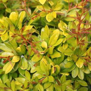 Berberis x media 'Dual jewel' - Vrtnarstvo Breskvar