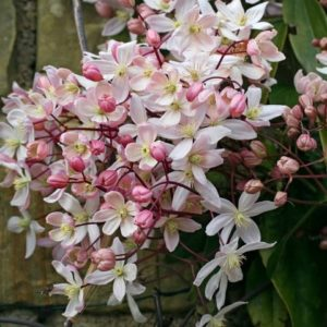Clematis armandi 'Apple blossom' - Vrtnarstvo Breskvar
