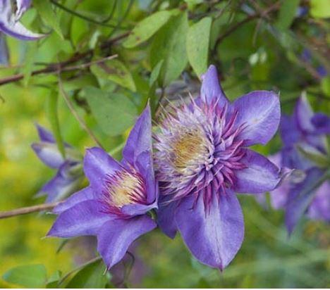 Clematis 'Multi Blue' - Vrtnarstvo Breskvar