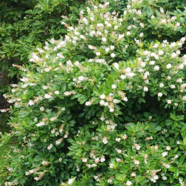 Clethra alnifolia 'Anne Bidwell'- Vrtnarstvo Breskvar