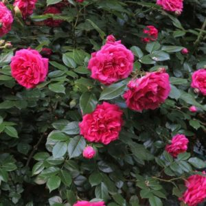 Rosa 'Laguna' - Vrtnarstvo Breskvar
