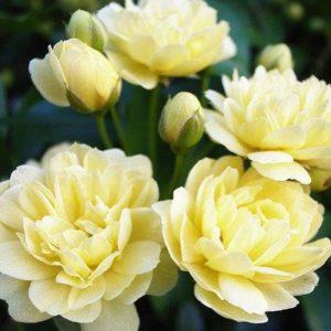 Rosa banksiae 'Lutea' - Vrtnarstvo Breskvar