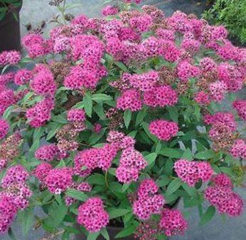 Spiraea japonica 'Neon Flash' - Vrtnarstvo Breskvar