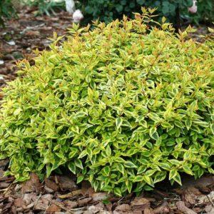 Abelia x grandiflora 'Kaleidoscope' - Vrtnarstvo Breskvar