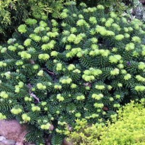 Abies balsamea 'Piccolo' - Vrtnarstvo Breskvar