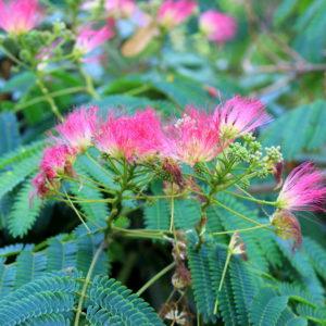 Albizia julibrissin 'Ombrella' - Vrtnarstvo Breskvar