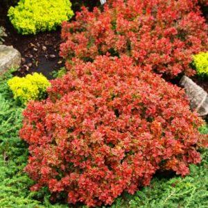 Berberis thunbergii 'Admiration' - Vrtnarstvo Breskvar
