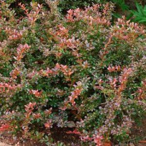Berberis x media 'Red Jewel' - Vrtnarstvo Breskvar