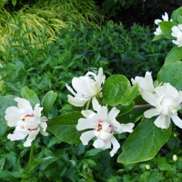Calycanthus 'Venus' Noble - Vrtnarstvo Breskvar