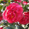 Camellia japonica 'Kramer's Supreme' - Vrtnarstvo Breskvar