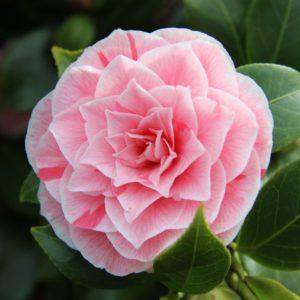 Camellia japonica 'Bonomiana' - Vrtnarstvo Breskvar