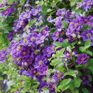 Clematis 'Ashva' - Vrtnarstvo Breskvar