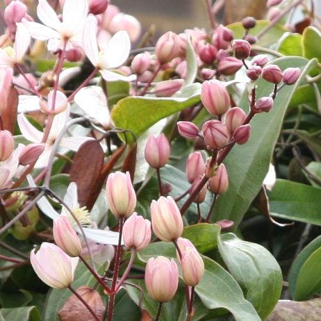 Clematis armandi 'Apple blossom' - Vrtnarstvo Breskvarapple