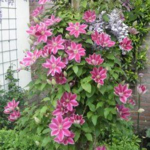 Clematis 'Dr. Ruppel' - Vrtnarstvo Breskvar