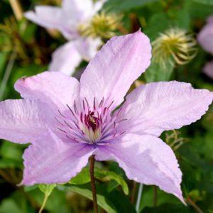 Clematis 'Hagley Hybrid' - Vrtnarstvo Breskvar