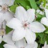Clematis 'John Paul II' - Vrtnarstvo Breskvar