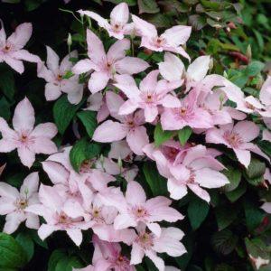 Clematis ' Pink Fantasy' - Vrtnarstvo Breskvar