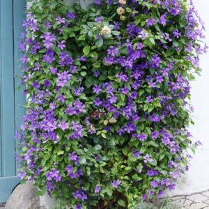 Clematis 'Semu' - Vrtnarstvo Breskvar