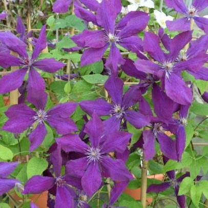 Clematis 'Honora' - Vrtnarstvo Breskvar