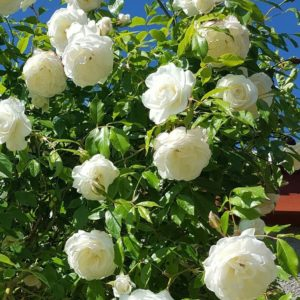 Rosa 'Climbing Schneewitchen' - Vrtnarstvo Breskvar