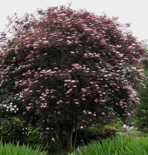 Sambucus nigra 'Black Beauty' - Vrtnarstvo Breskvar