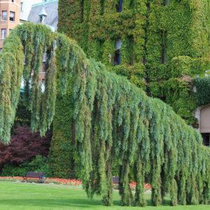 Sequiadendron giganteum ' Pendulum' - Vrtnarstvo Breskvar