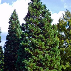 Sequoiadendron giganteum - Vrtnarstvo Breskvar