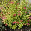 Spiraea japonica 'Candlelight' - Vrtnarstvo Breskvar