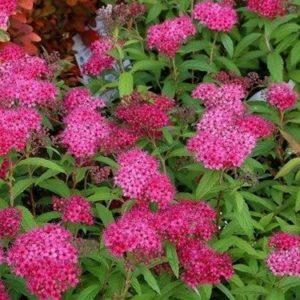 Spiraea japonica 'Dart's Red' - Vrtnarstvo Breskvar