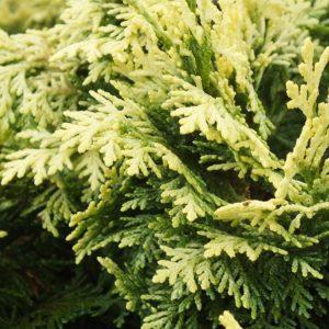Chamaecyparis lawsoniana 'Pygmaea Argentea' - Vrtnarstvo Breskvar