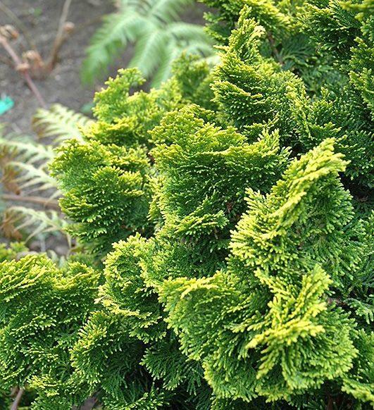 Chamaecyparis obtusa 'Nana Aurea' - Vrtnarstvo Breskvar