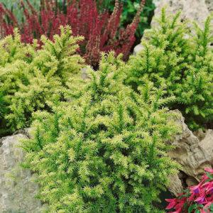 Cryptomeria japonica 'Vilmorin Gold' - Vrtnarstvo Breskvar
