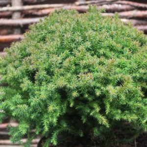 Cryptomeria japonica 'Compressa' - Vrtnarstvo Breskvar