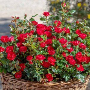 Rosa 'Zepeti' - Vrtnarstvo Breskvar